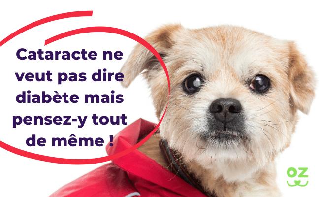 cataracte chien