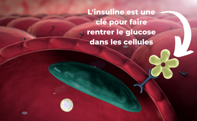 insuline cellule