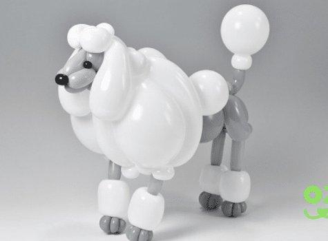 matsumoto chien caniche