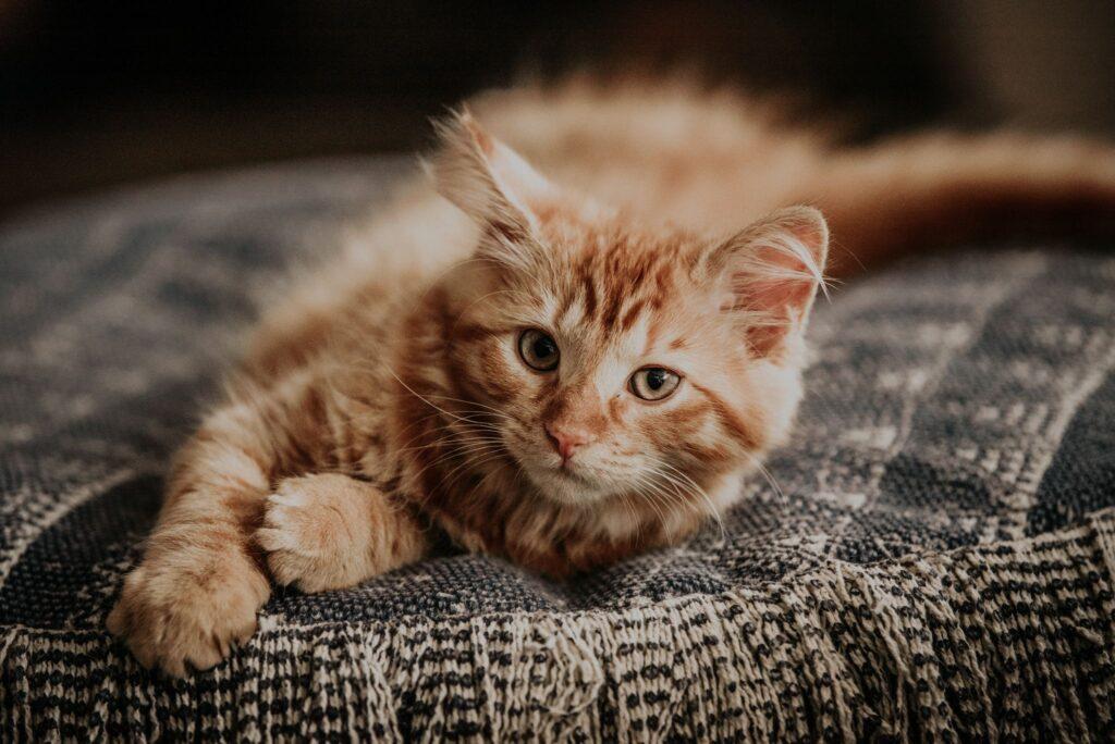 Le chat possède des pouvoirs apaisants qui réduisent notre anxiété par la ronronthérapie.