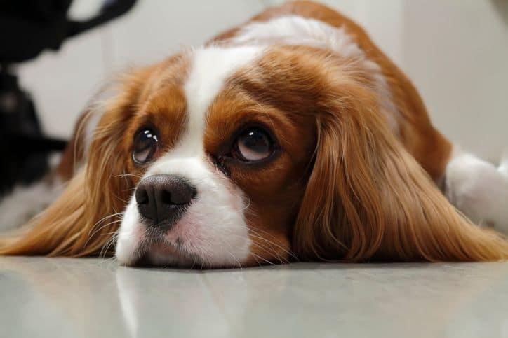 Préparer son chien à la rentrée pour éviter une anxiété de séparation.