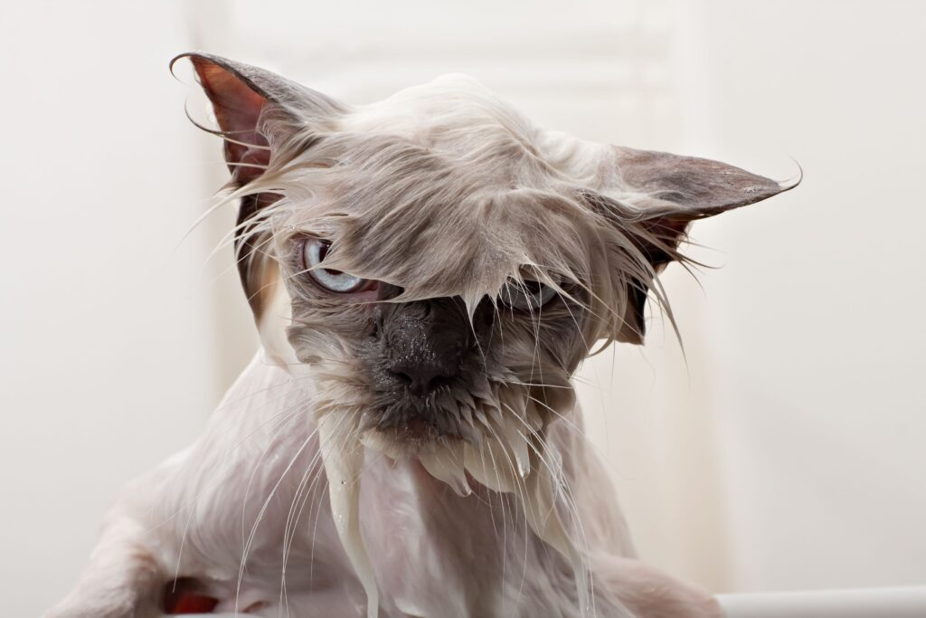 L'apprentissage de la propreté à un chat adulte.