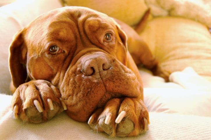 Bien préparer l'automne avec son chien quand il souffre de douleurs articulaires.